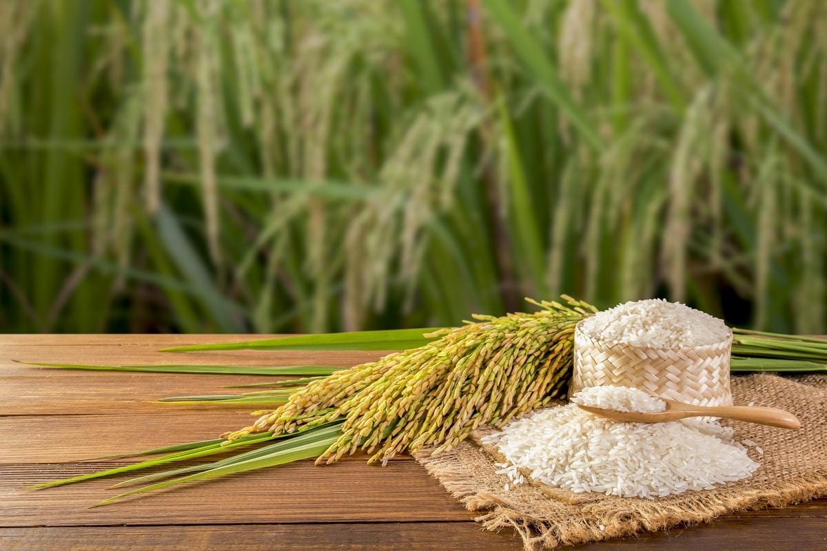 El cultivo de arroz es unos de los negocios rentables en Sevilla, España